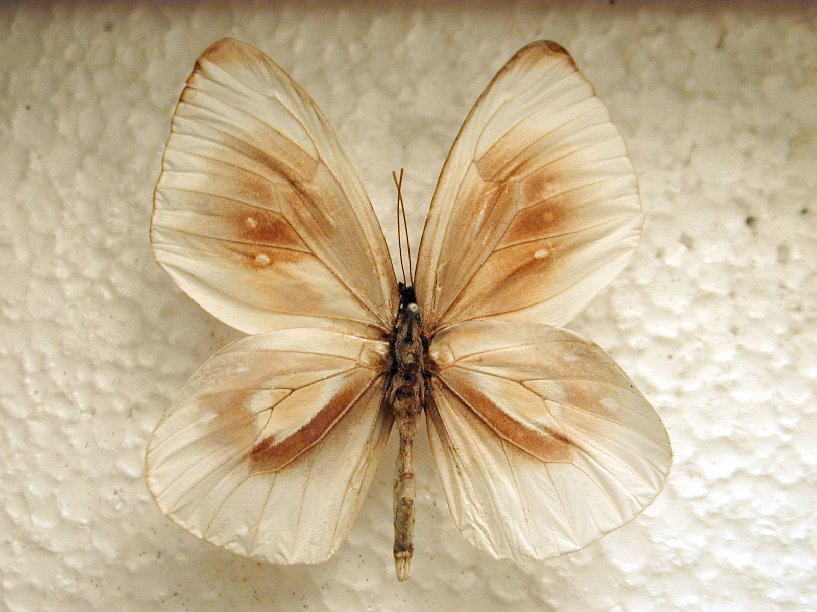 butterfly white brown wing top vein insect plastic