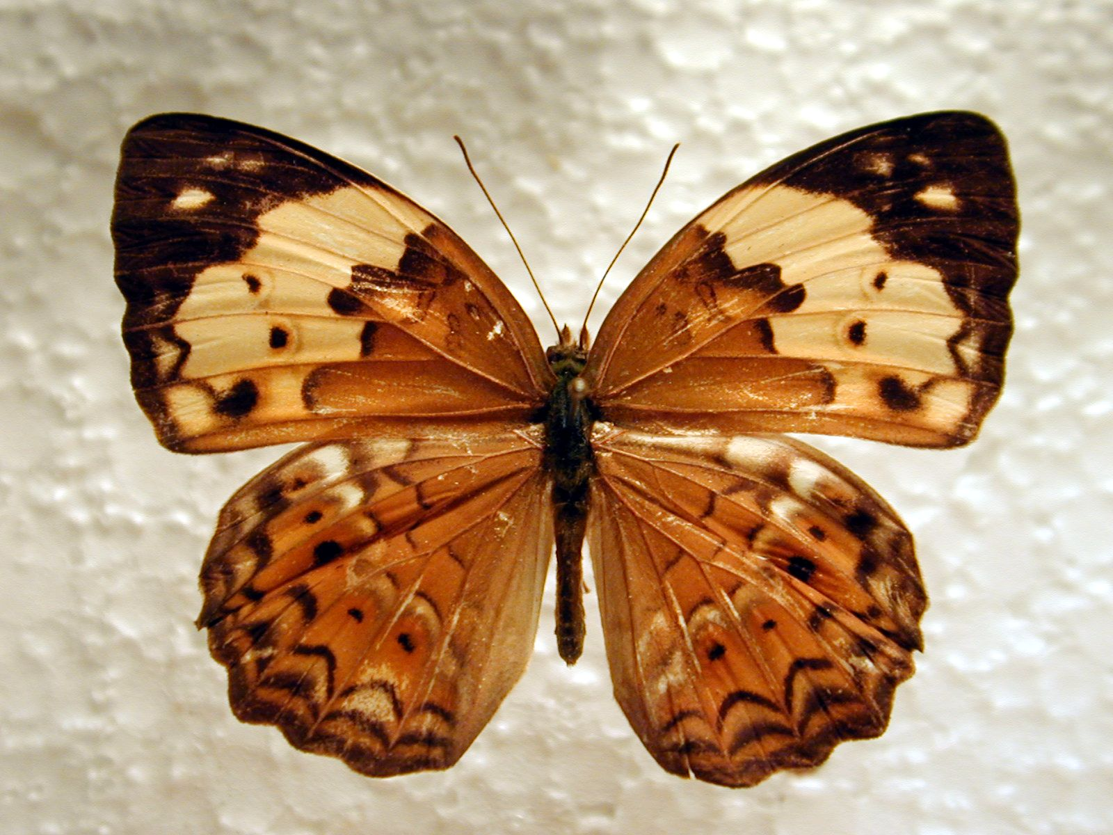 butterfly insect wing wings vein top white black orange beige brown
