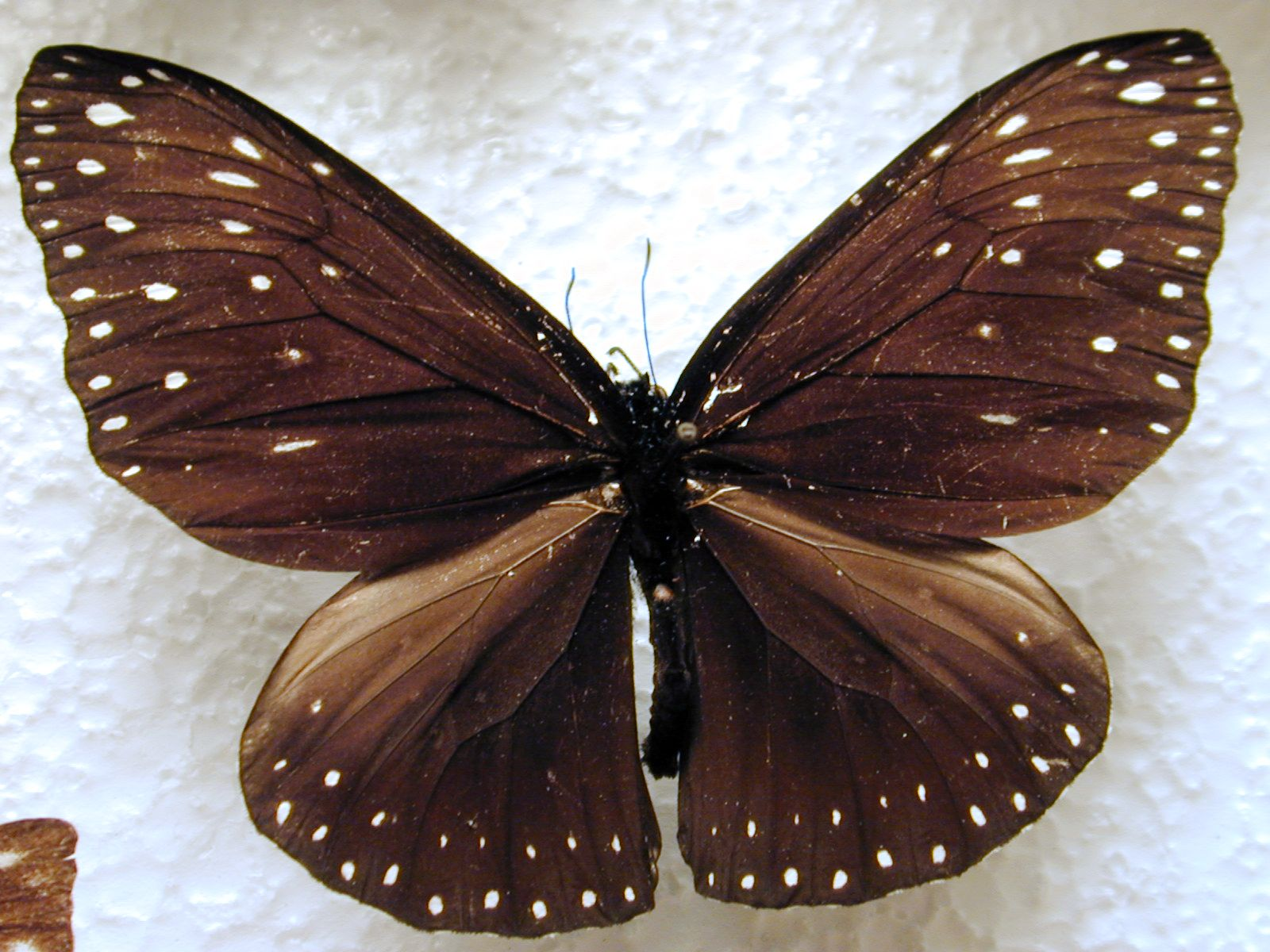 butterfly insect wing wings vein top white black