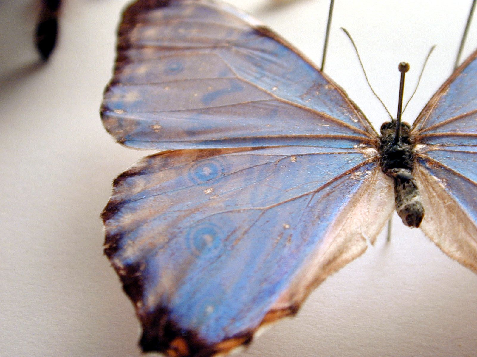 peacock eye butterfly insect wing vein top white black blue aqua light-blue