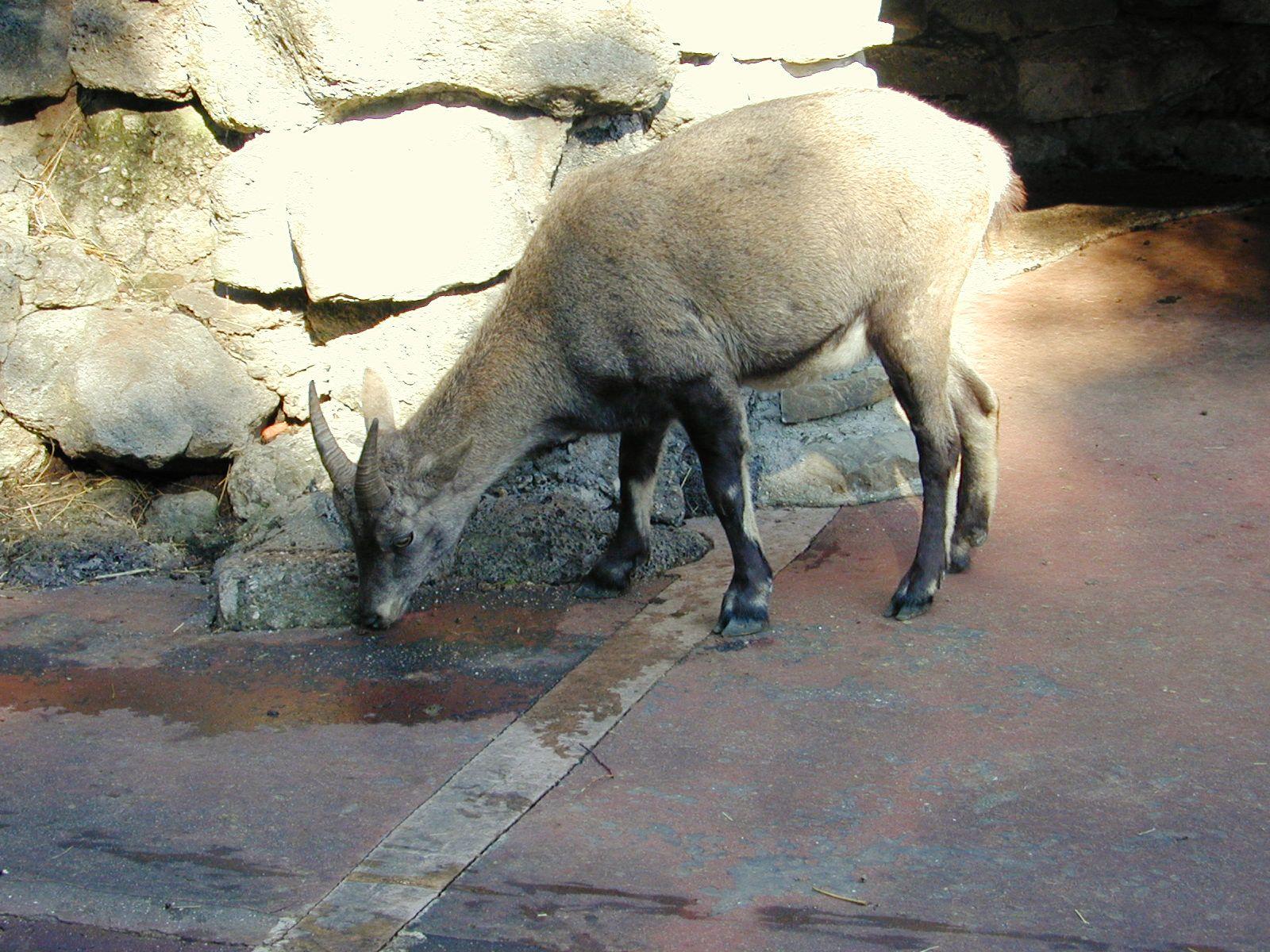 capricorn goat rocks zoo animal drinking horns hooves