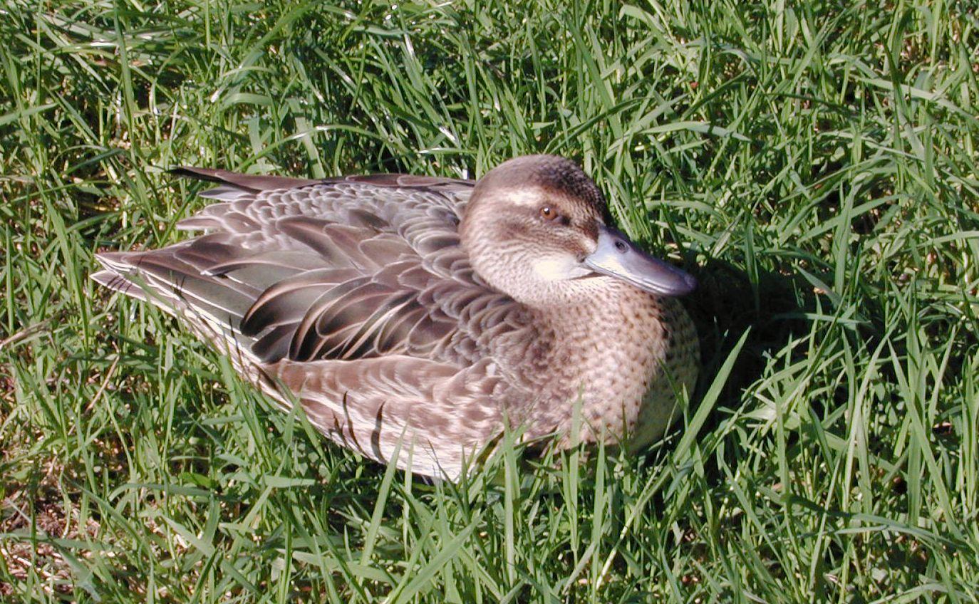 duck female feathers beak nostrils