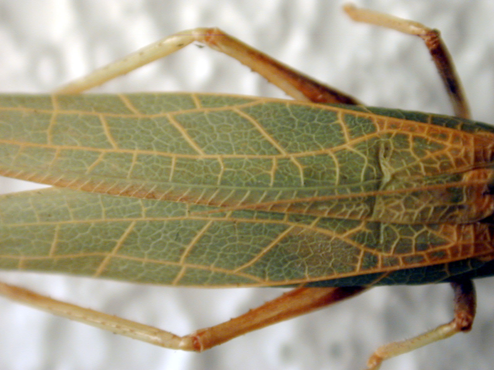 * green texture wing grasshopper macro top cricket locust insect blur