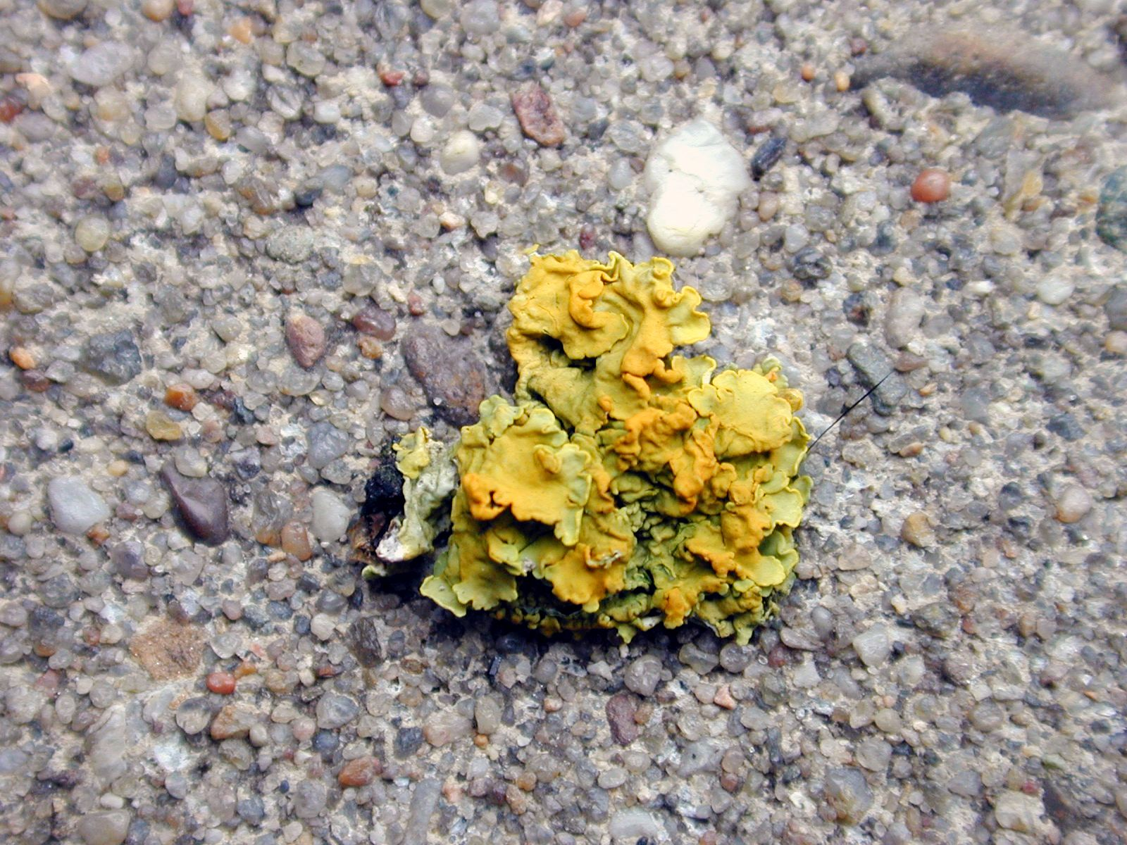 moss little small fungus yellow growing ground pebbles