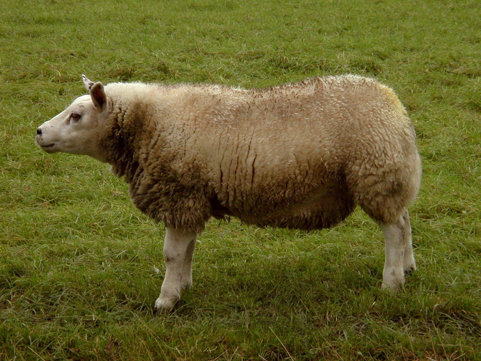sheep standing field grass wool legs