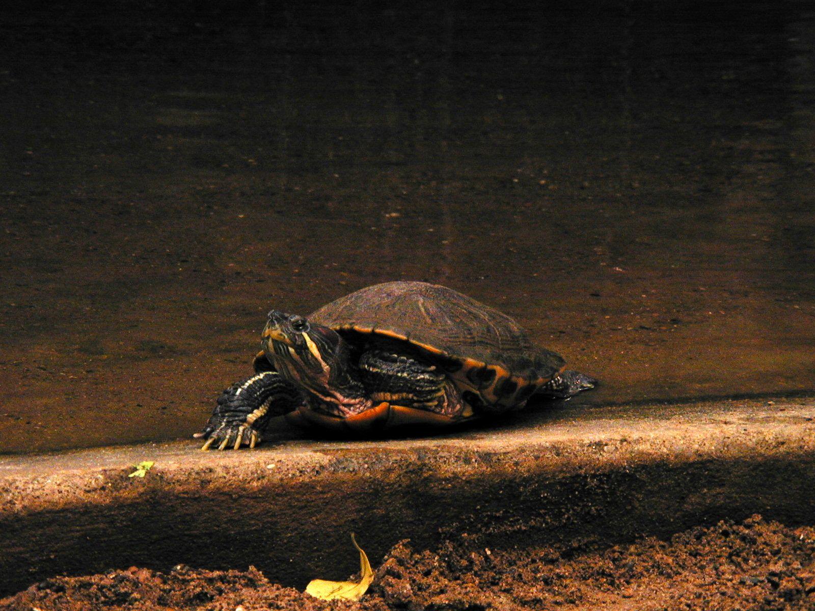turtle tortoise reptile head shell green slow