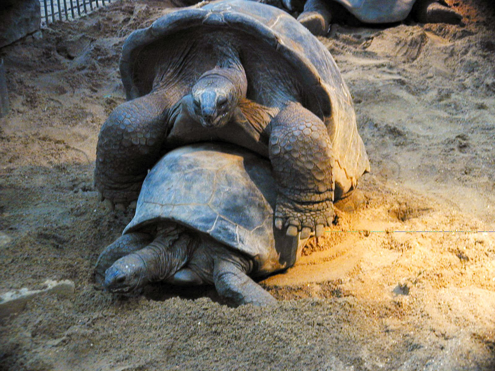 turtels making love sex (always good for the hits:)) animals sea animals armor