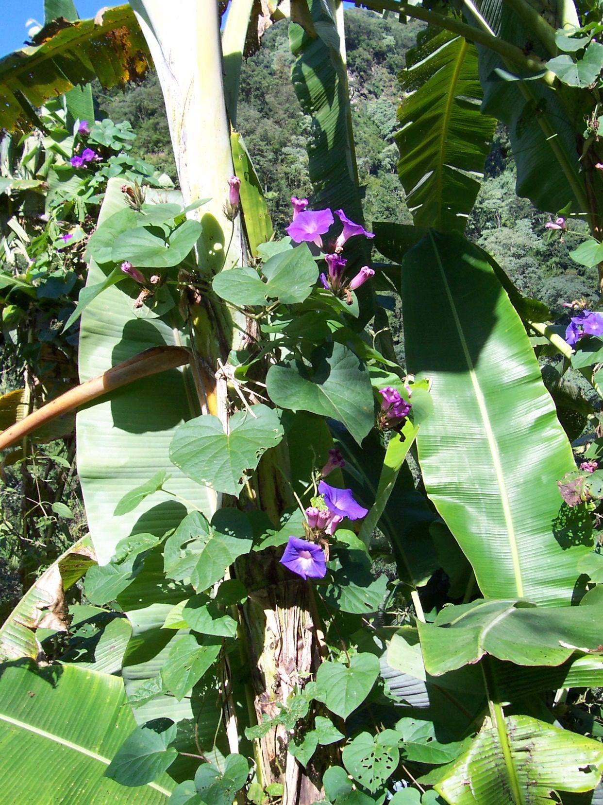 tropical plants and flowers tropics green leaves annet bananaplant banana bananatree