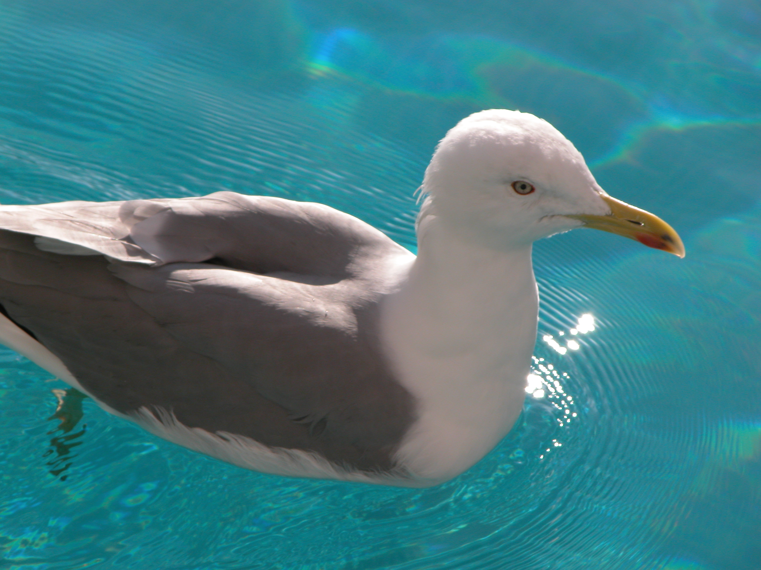 seagull in blue water feathers bird