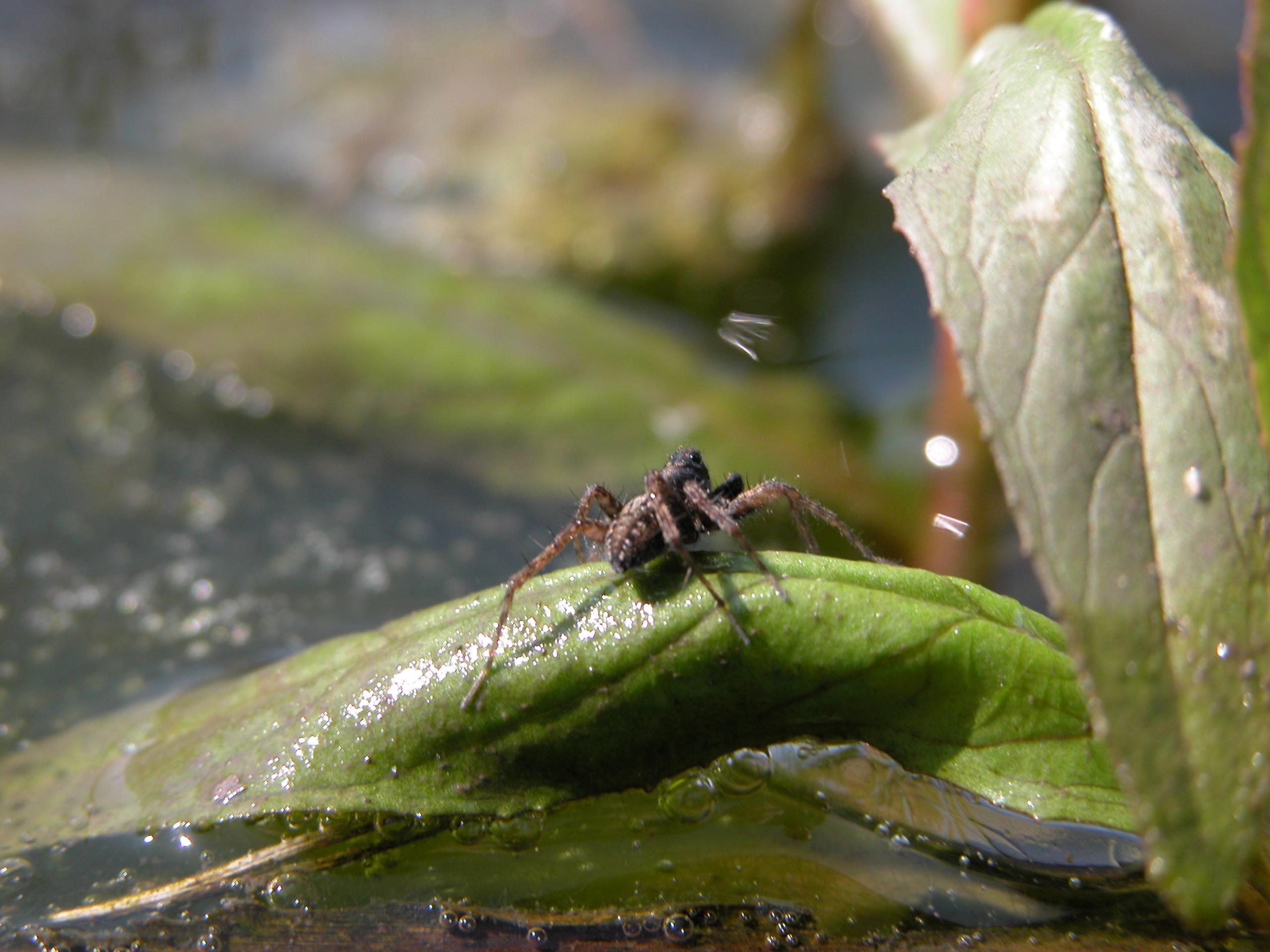 spider arachnid water leaf hanging on legs