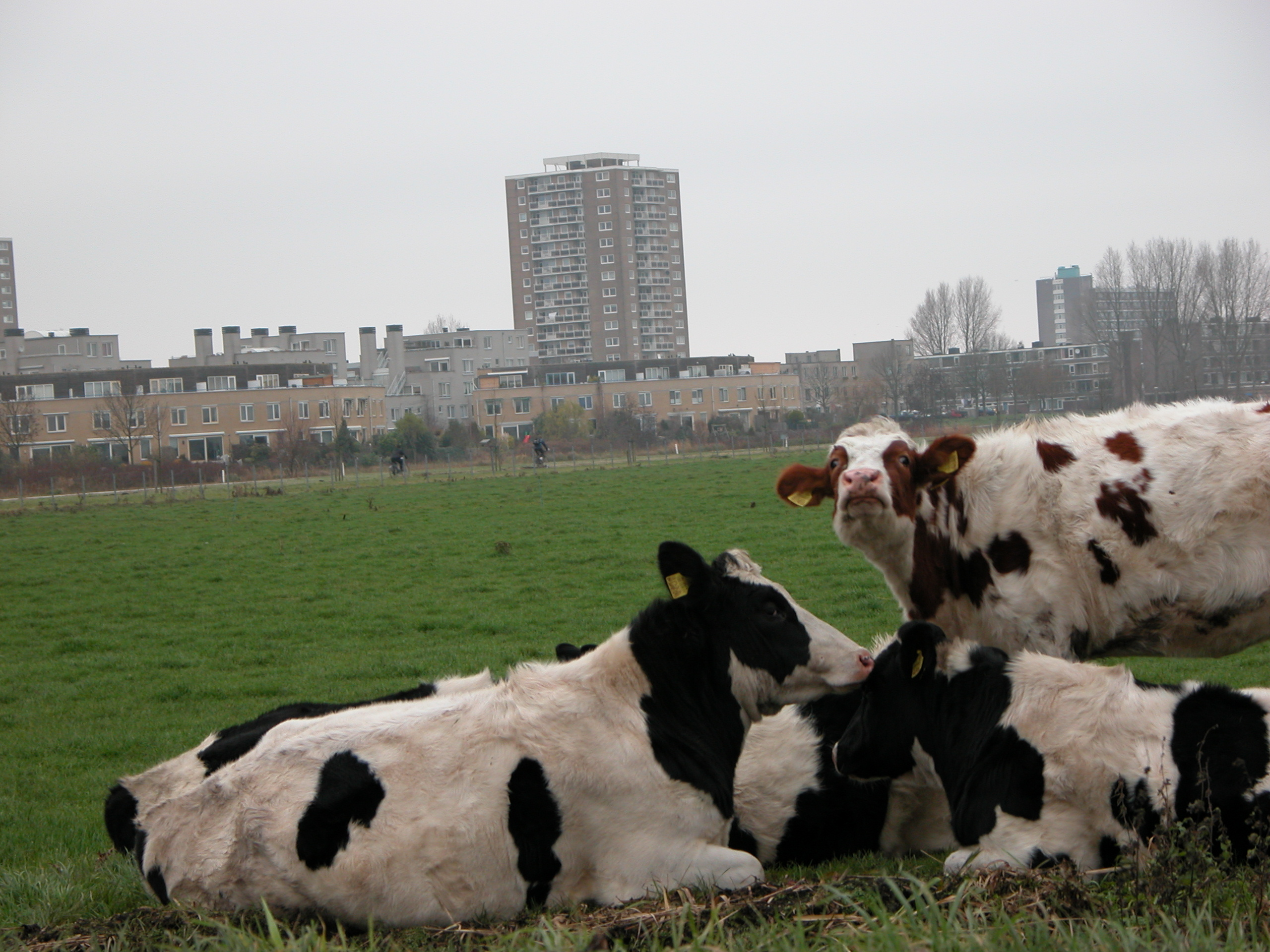cows in front of buildings city end