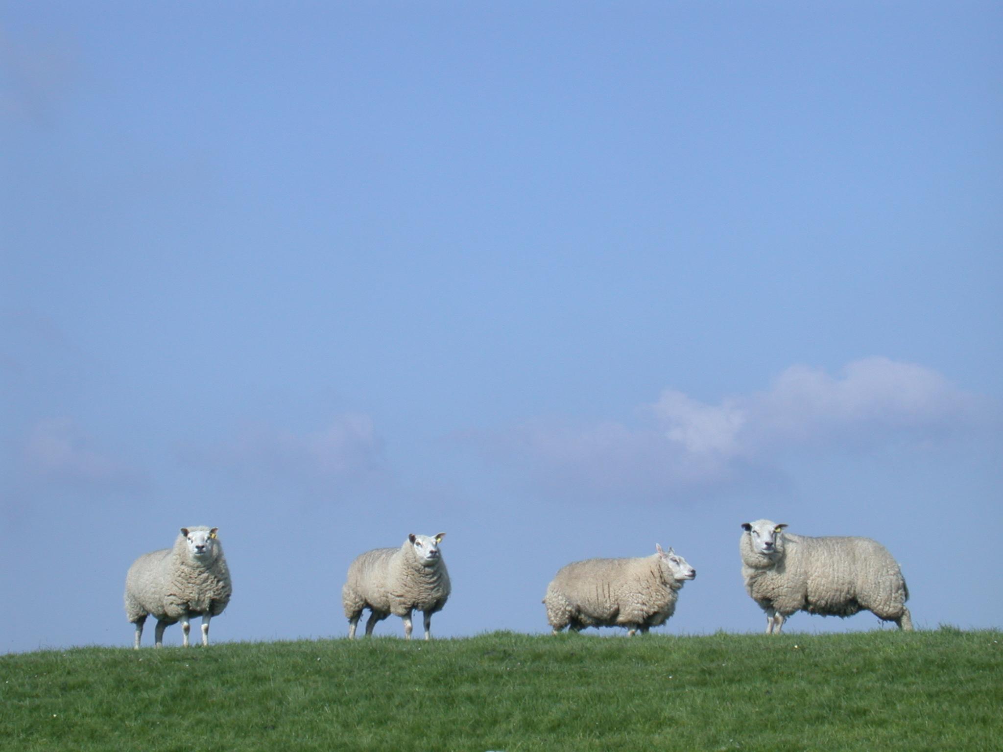 nature animals land sheep standing on dike grass texel