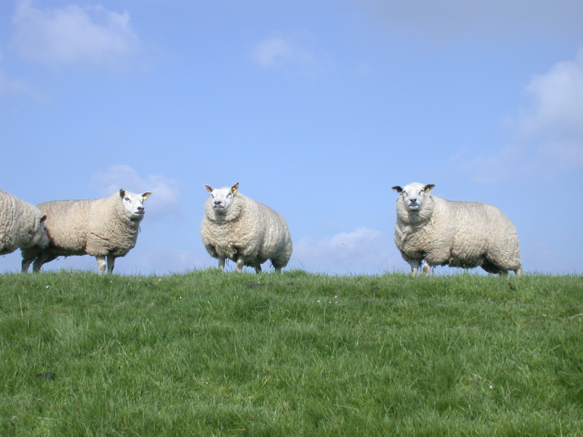 three sheep on a dike