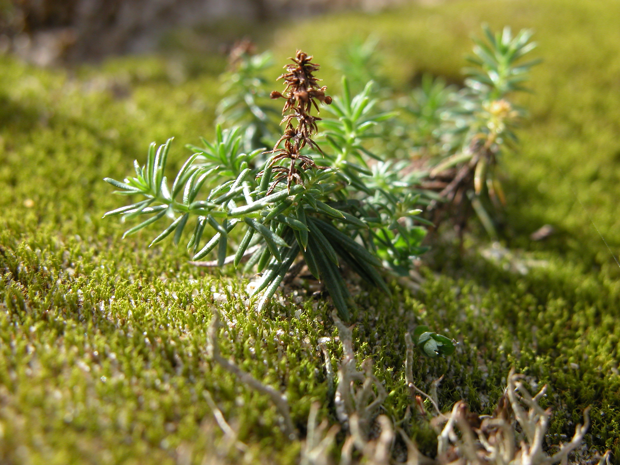 small pine tree in moss closeup texture