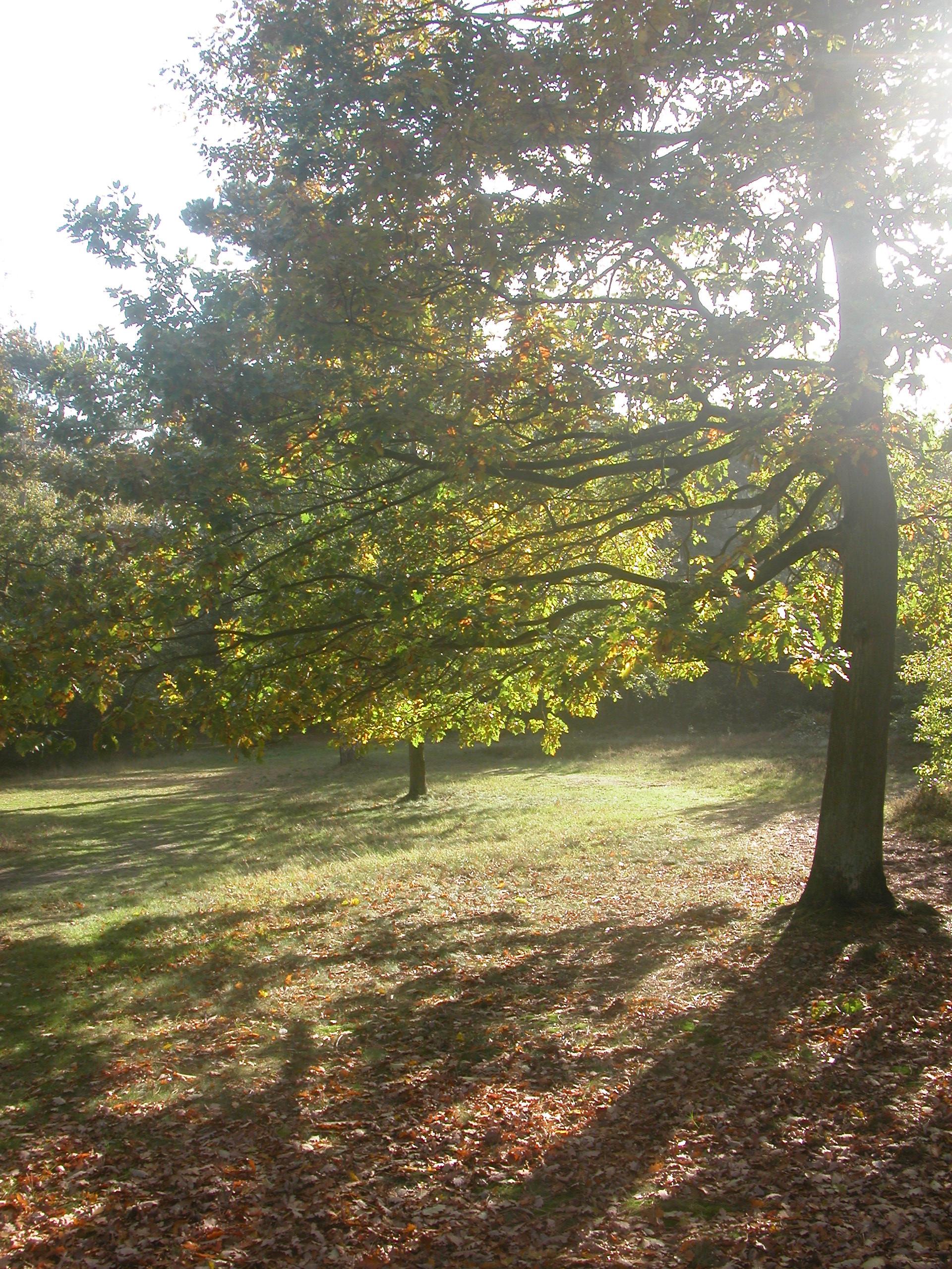 oak tree in sun forest