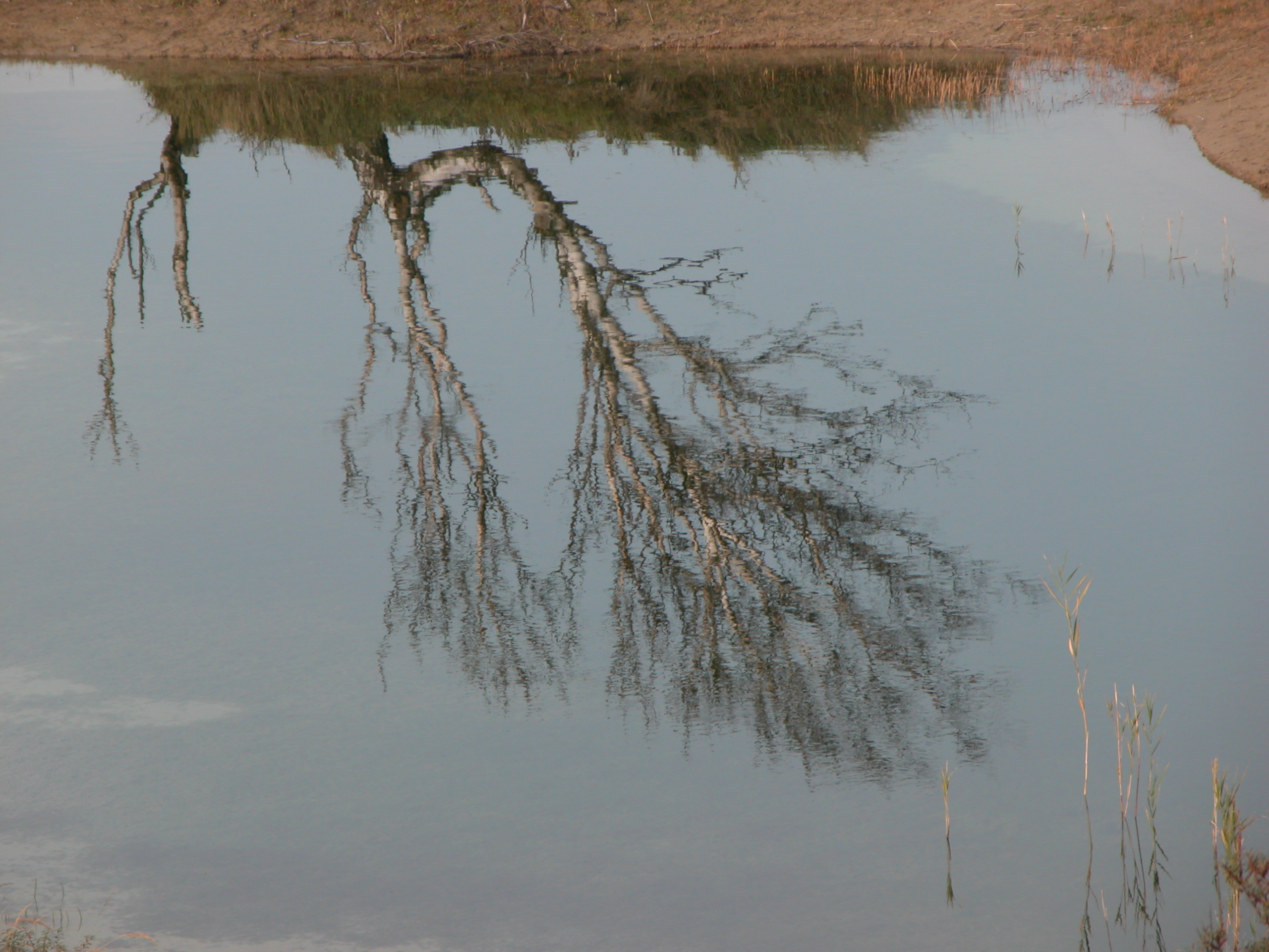 old tree in reflection water