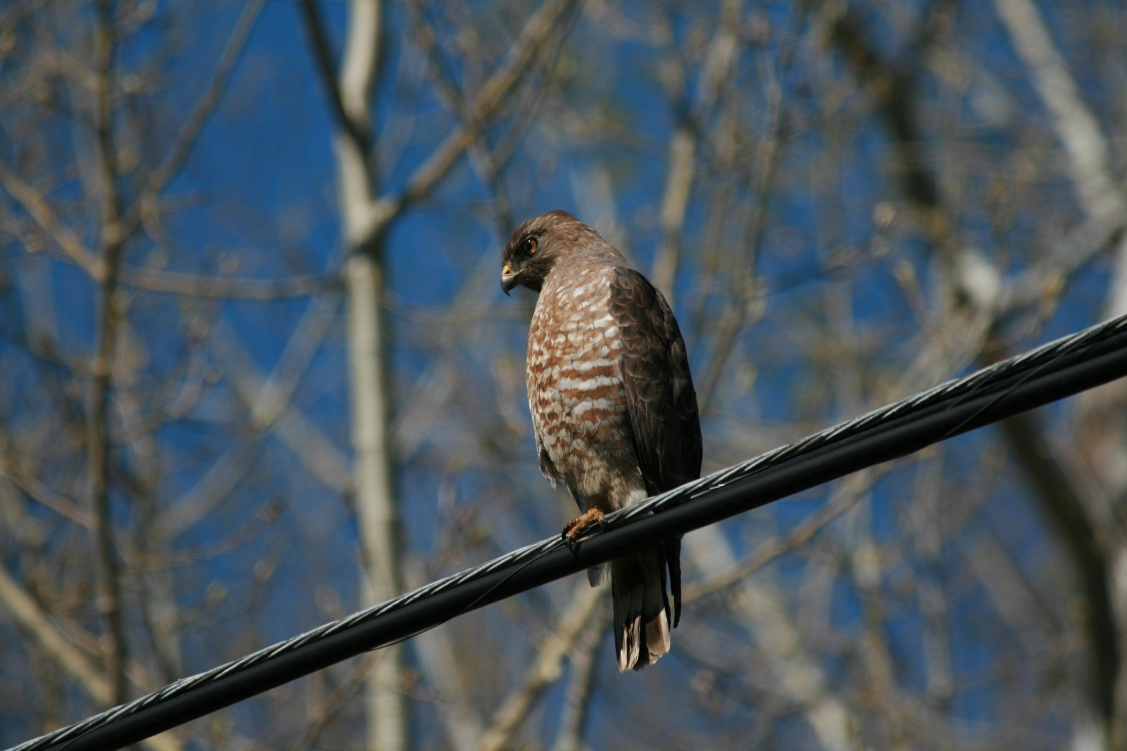 bozzit hawk on branch bird of prey