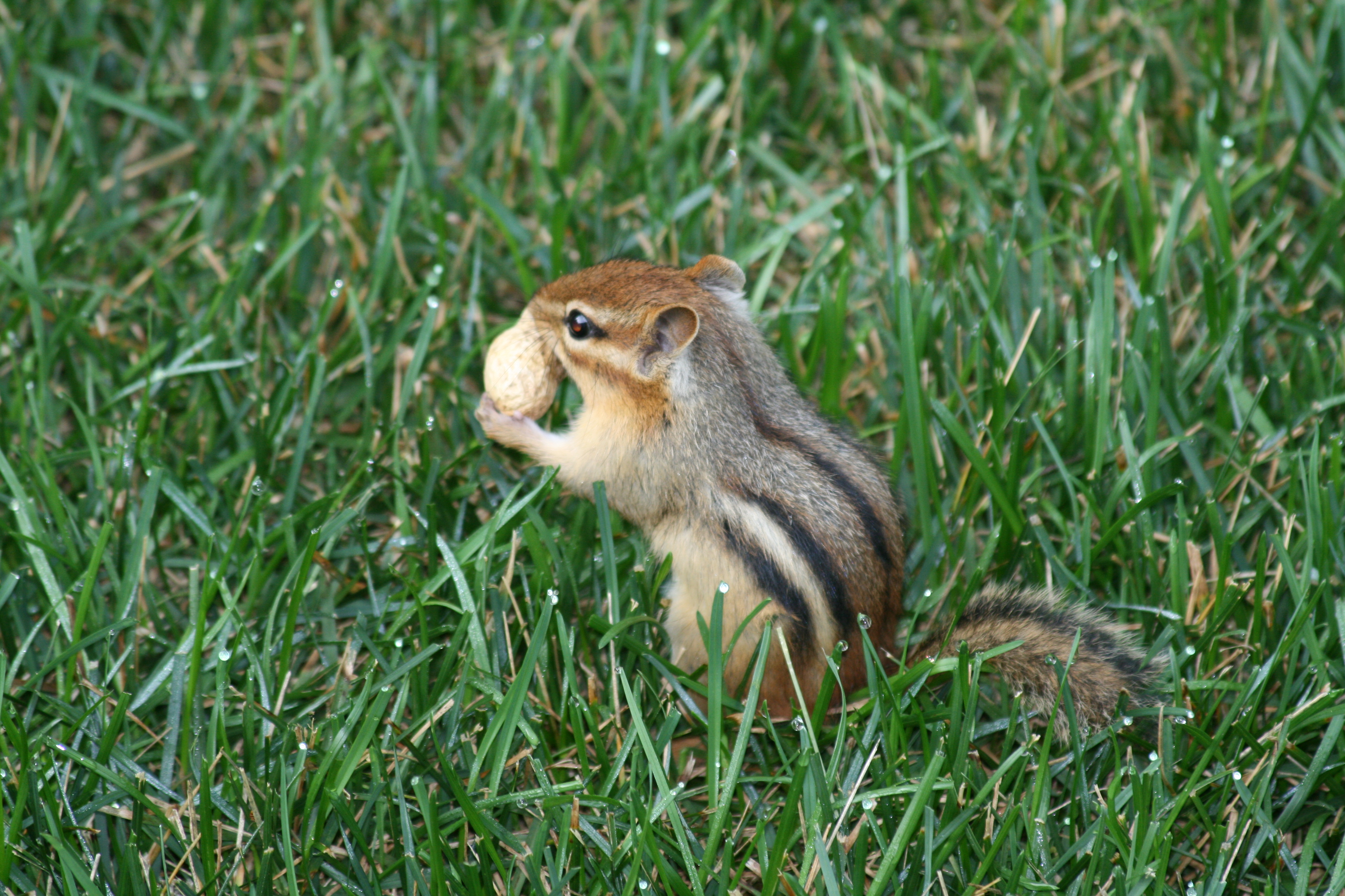 bozzit squirrel with a peanut in moist grass rodent