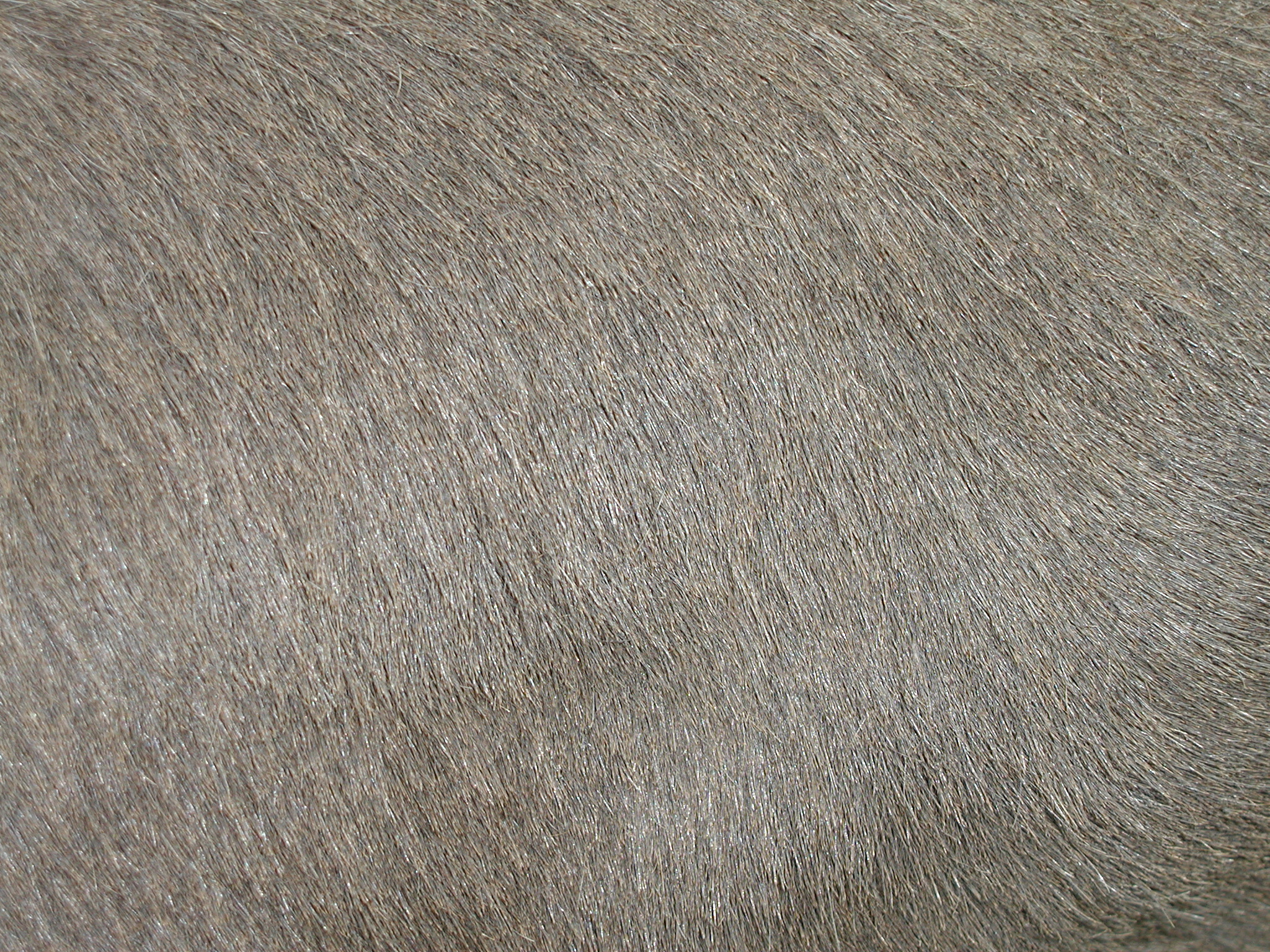 tabus fur gray grey hairs dense smooth soft