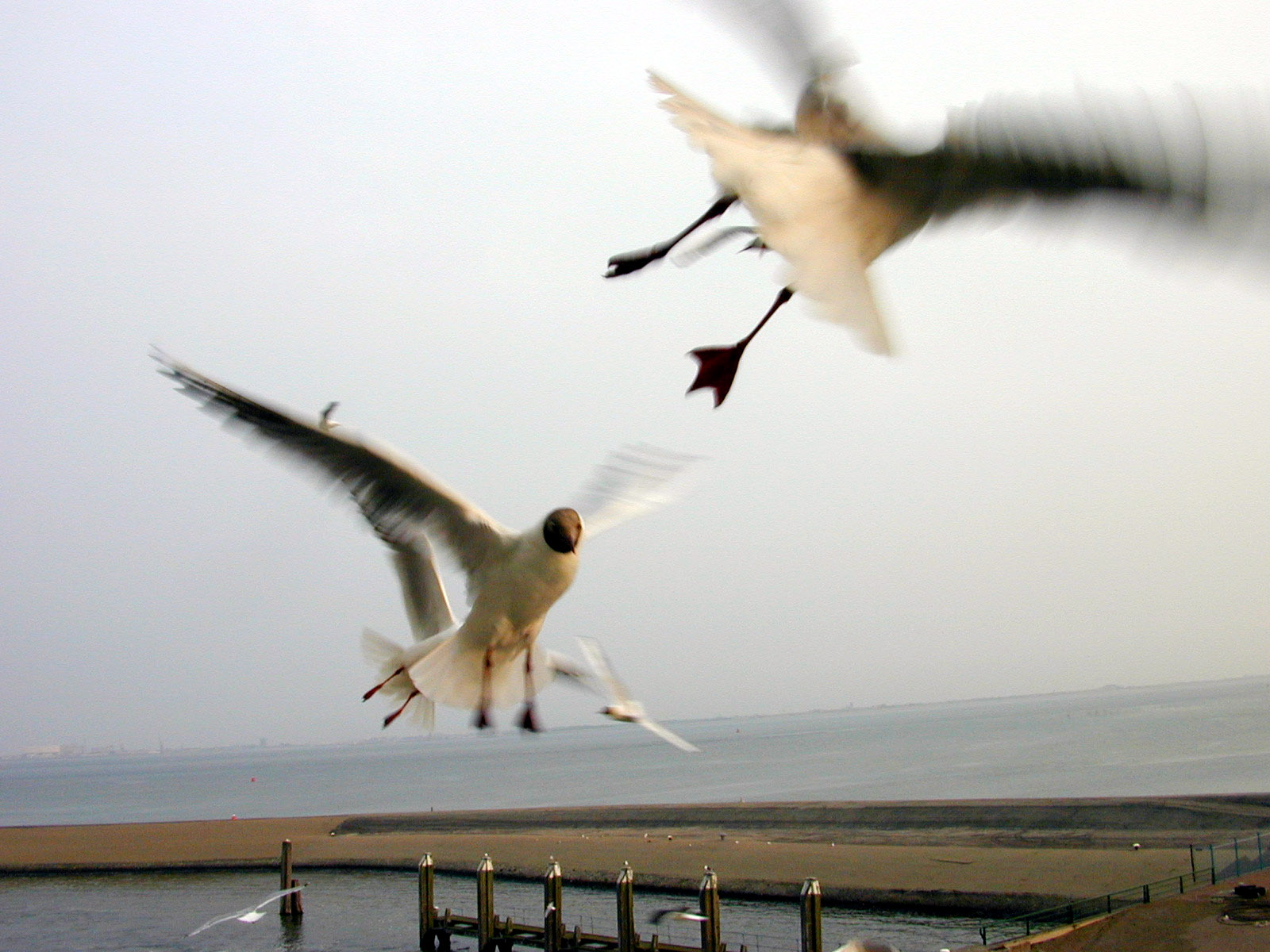 seagull in flight birds fight