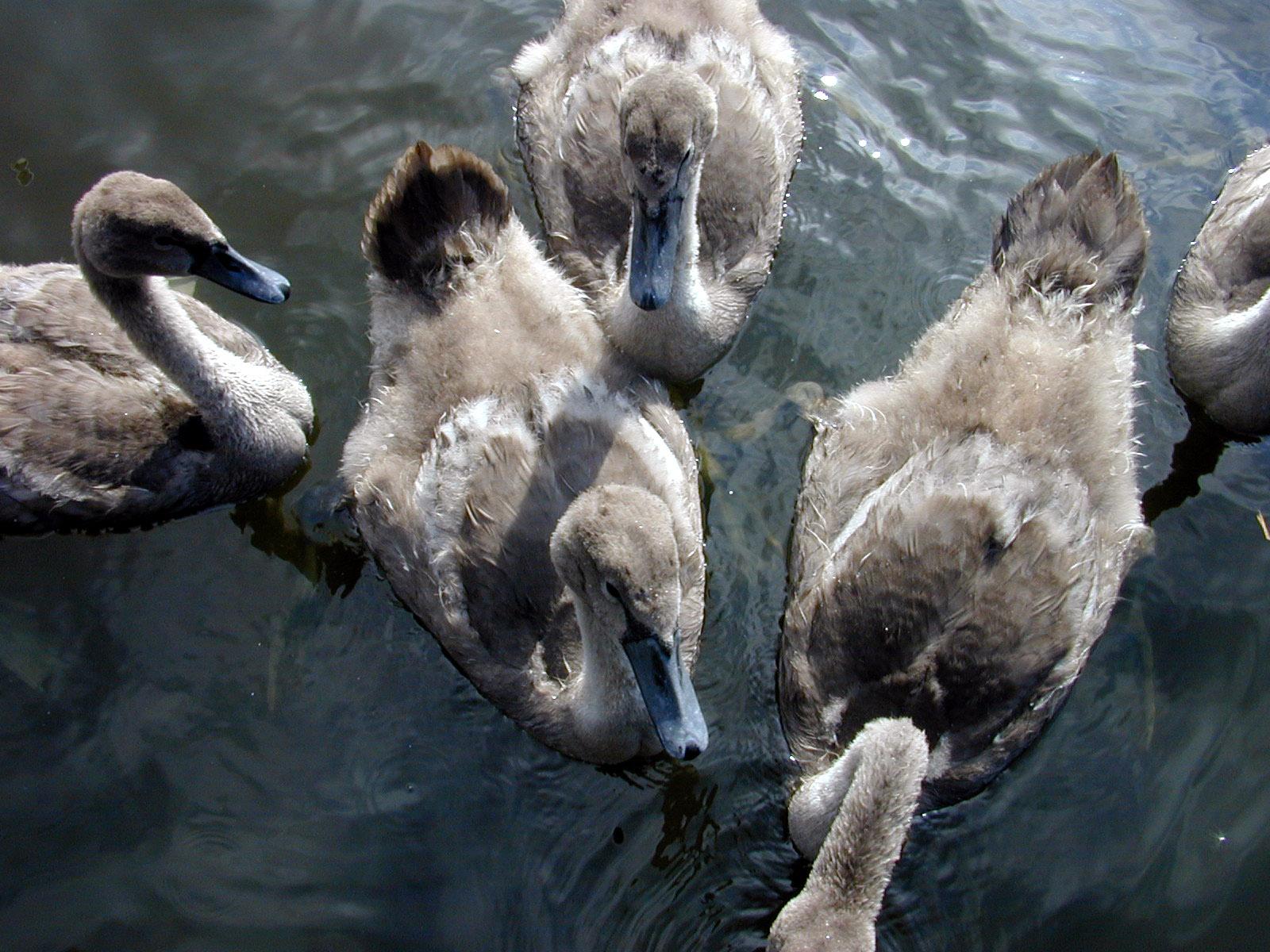 duck ducks ducklets young quack chicks beak beaks feeding the time fluffy