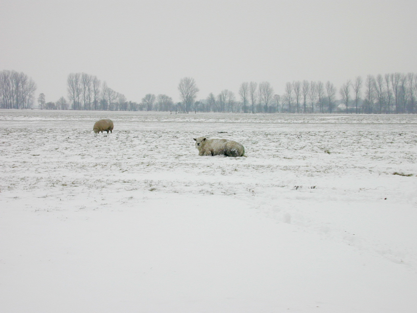 view polder sheep winter blanket of snow cold white field country