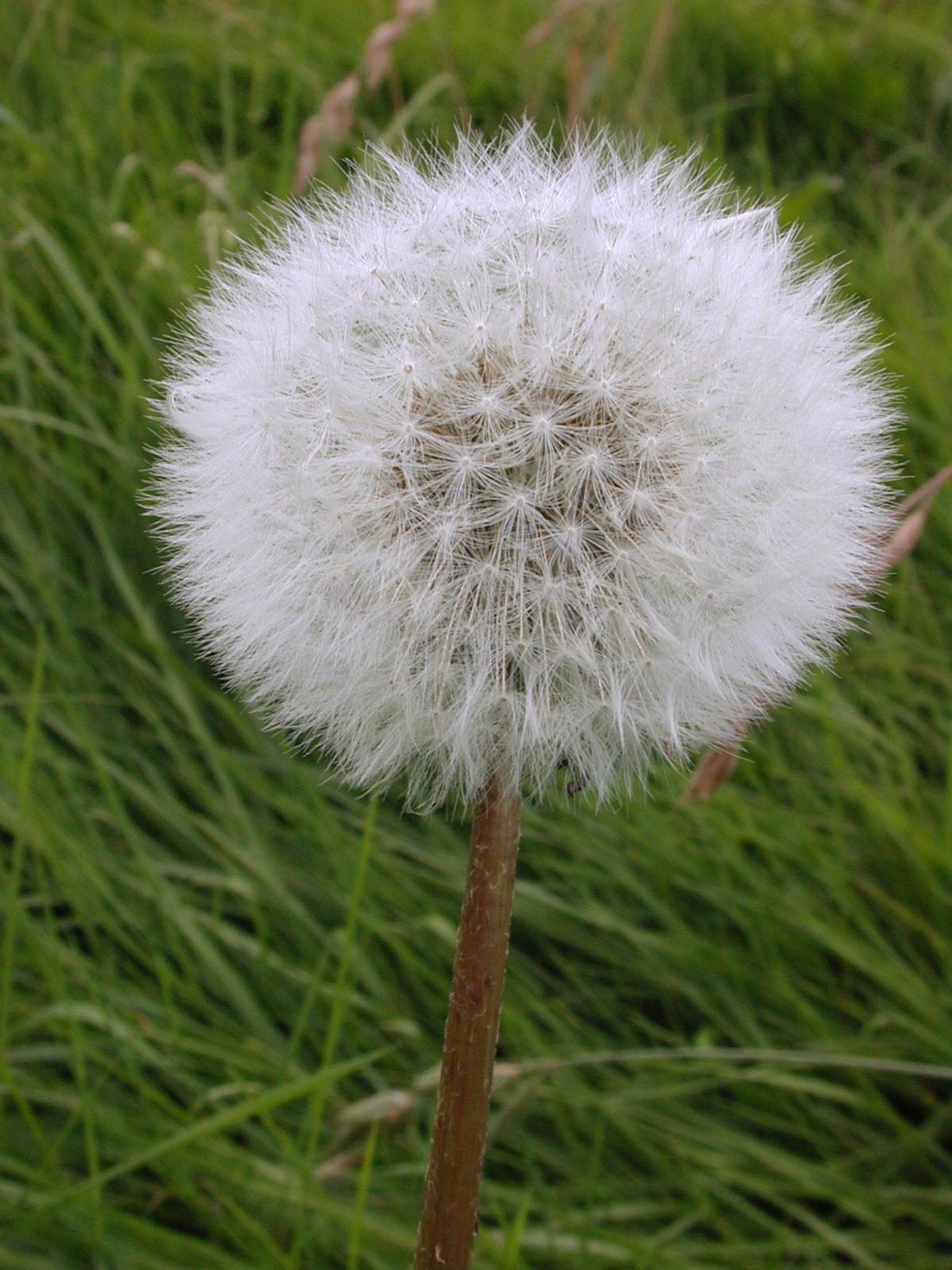 soft fluffy flower seeds green grass