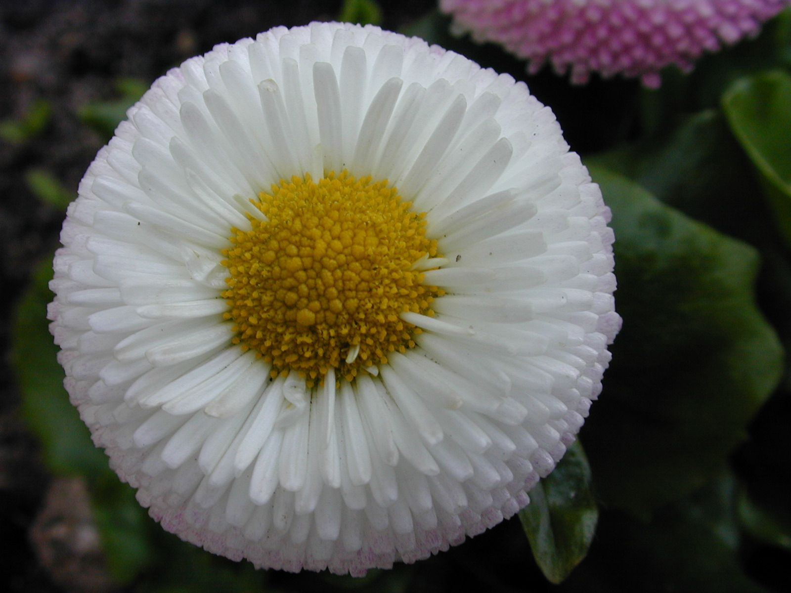 daisy nature flower top white macro plants