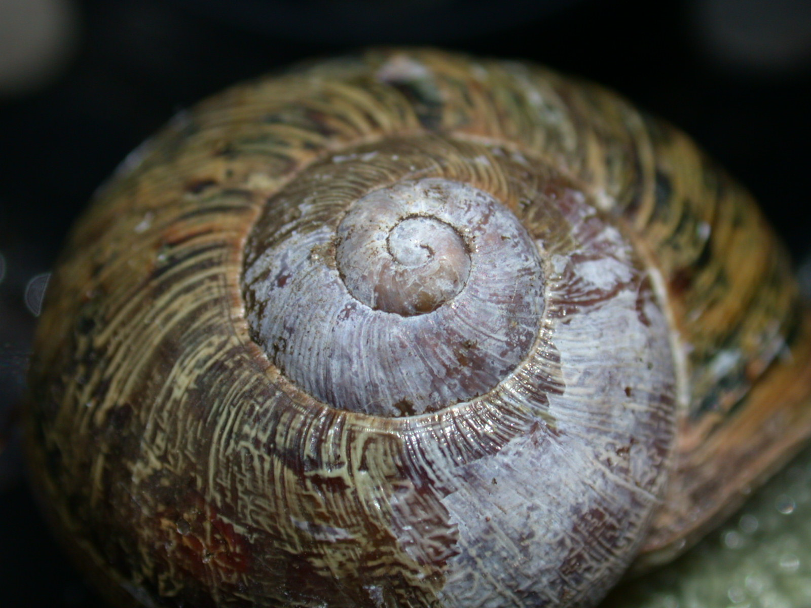 snail shell nature animals insects spiral macro house brown royalty