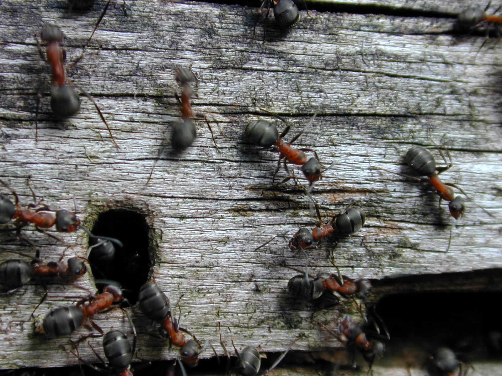 nature insects ant ants moving log wood nest hole entrance macro