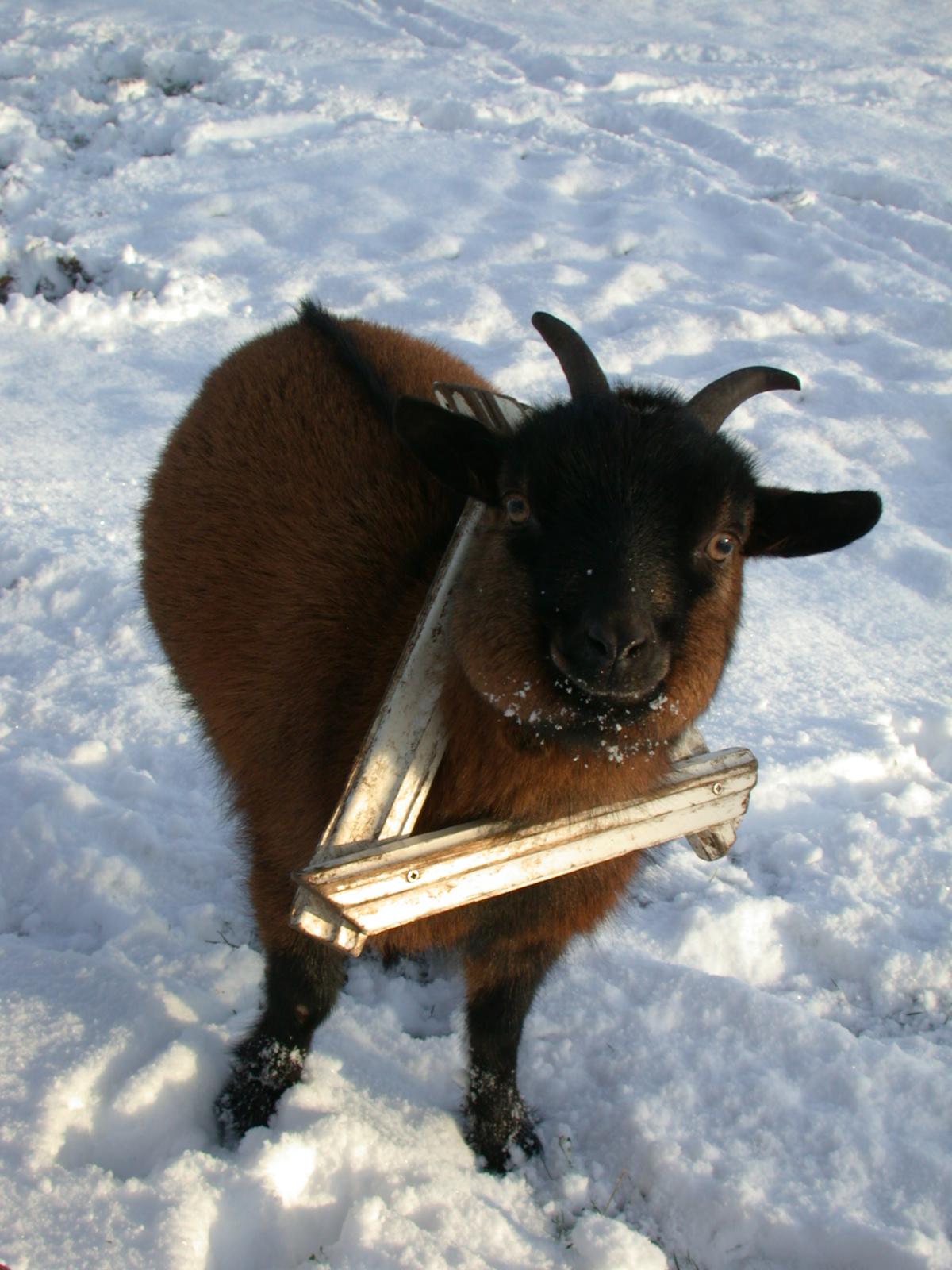 goat little baby snow winter cute sweet horns