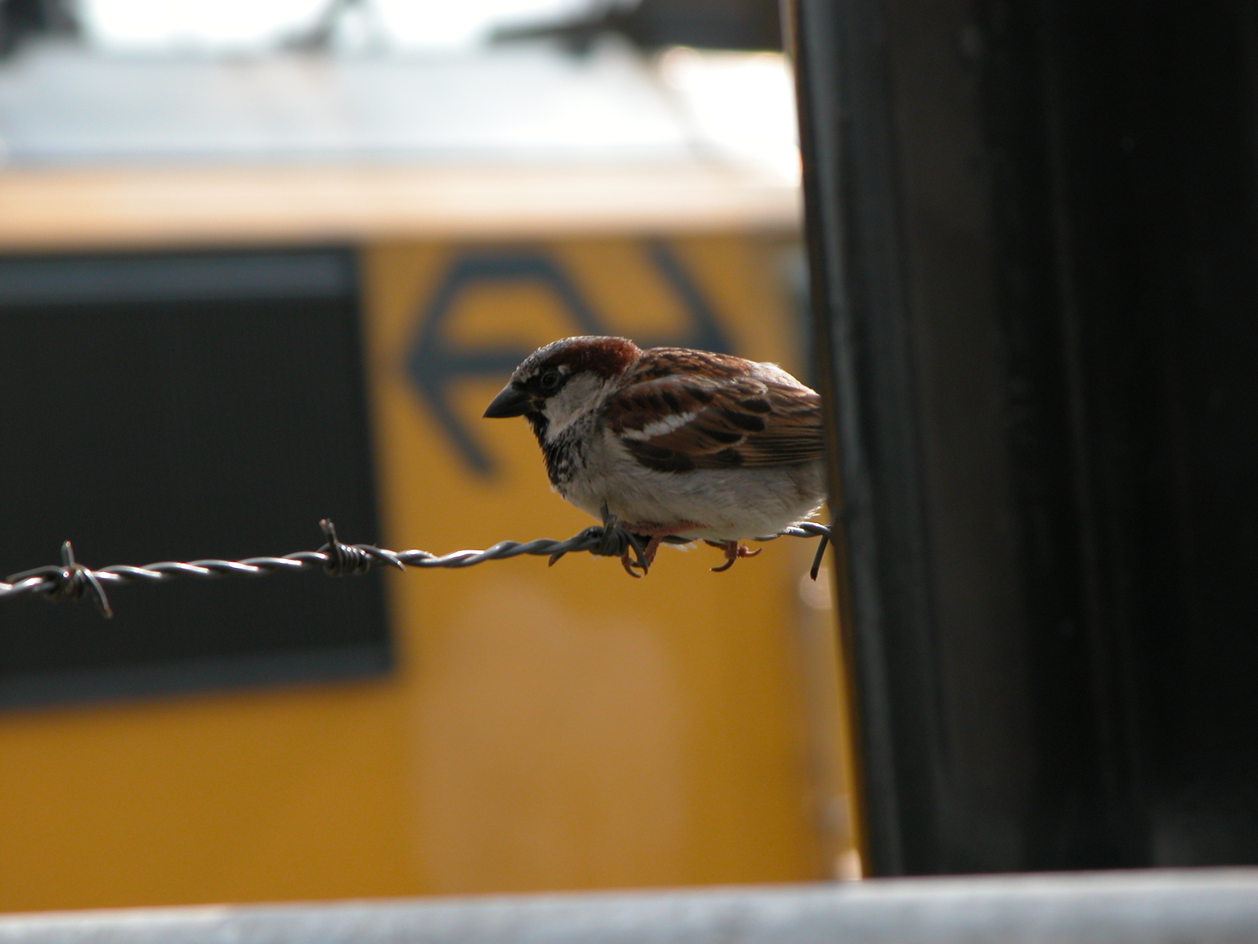 small bird sparrow feathers beak barb-wire bar wire barbed barbed-wire brown