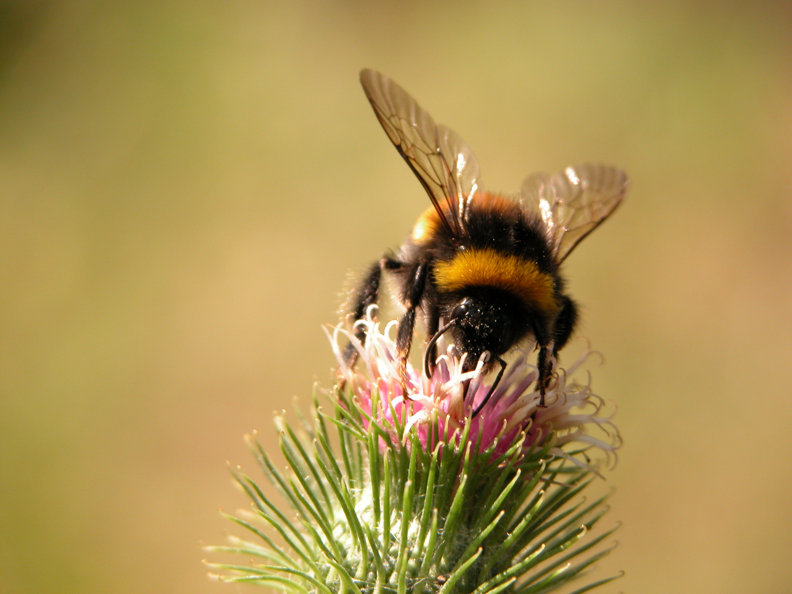 bumble bee insect thistle flower purple soft hairy