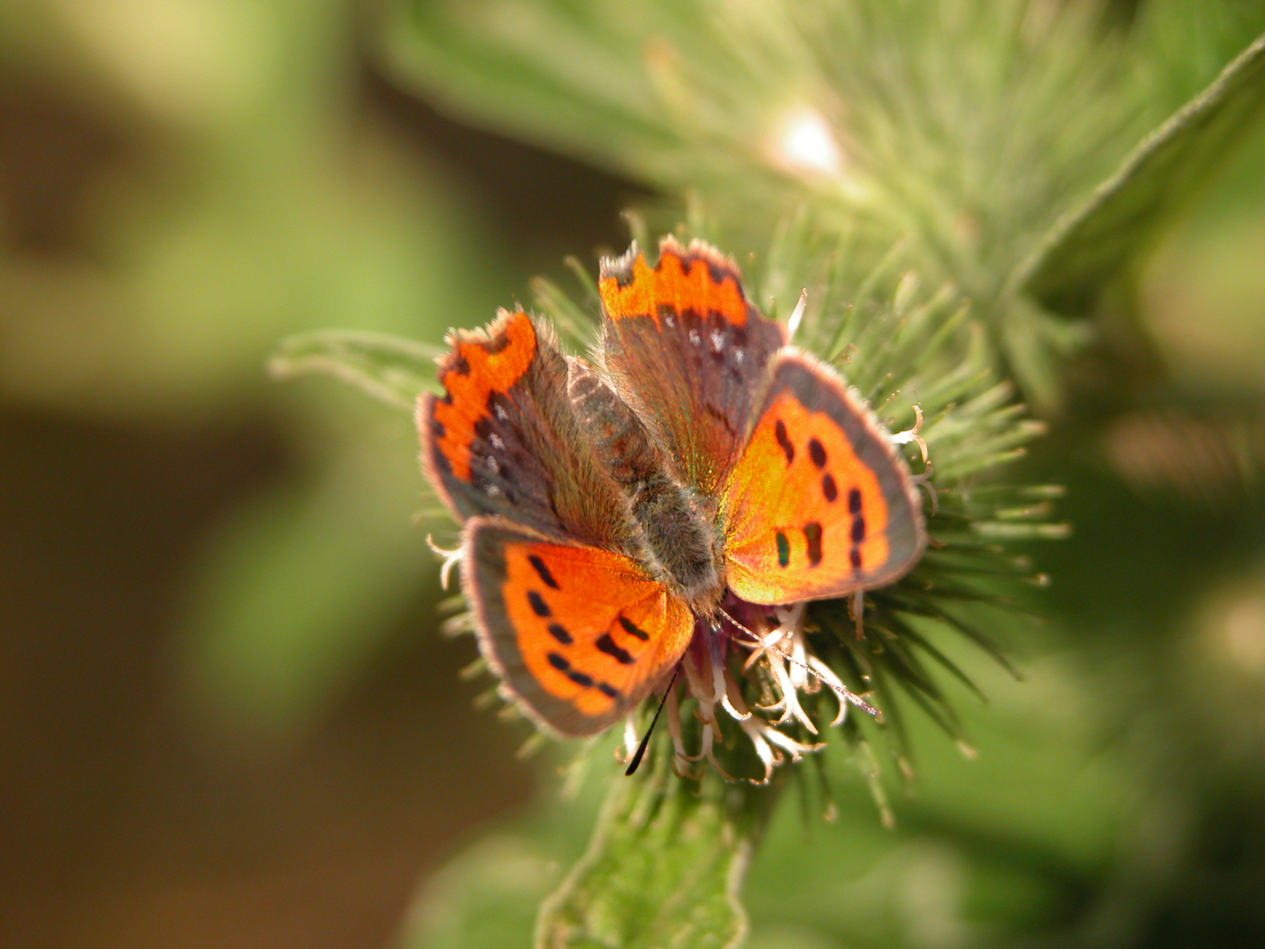 nature animals insects macro butterfly orange top