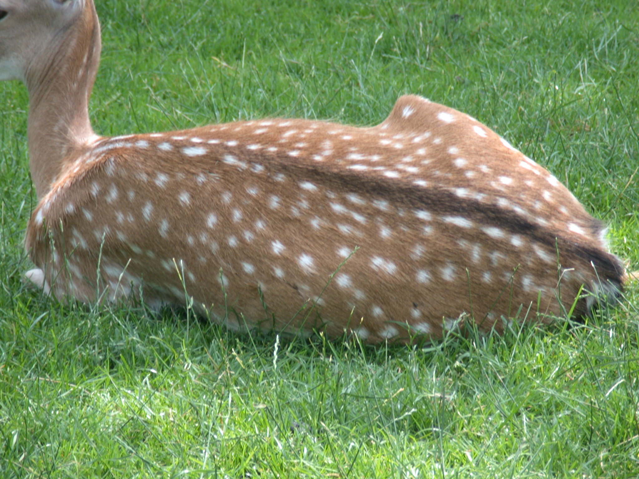 deer female lying spots spotted fur back ears petting-zoo pettingzoo petting zoo grass in the