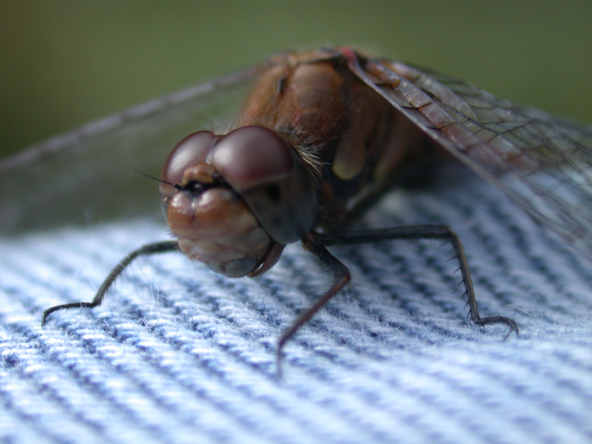 dragonfly dragon fly on jeans wings closeup facet eyes insect