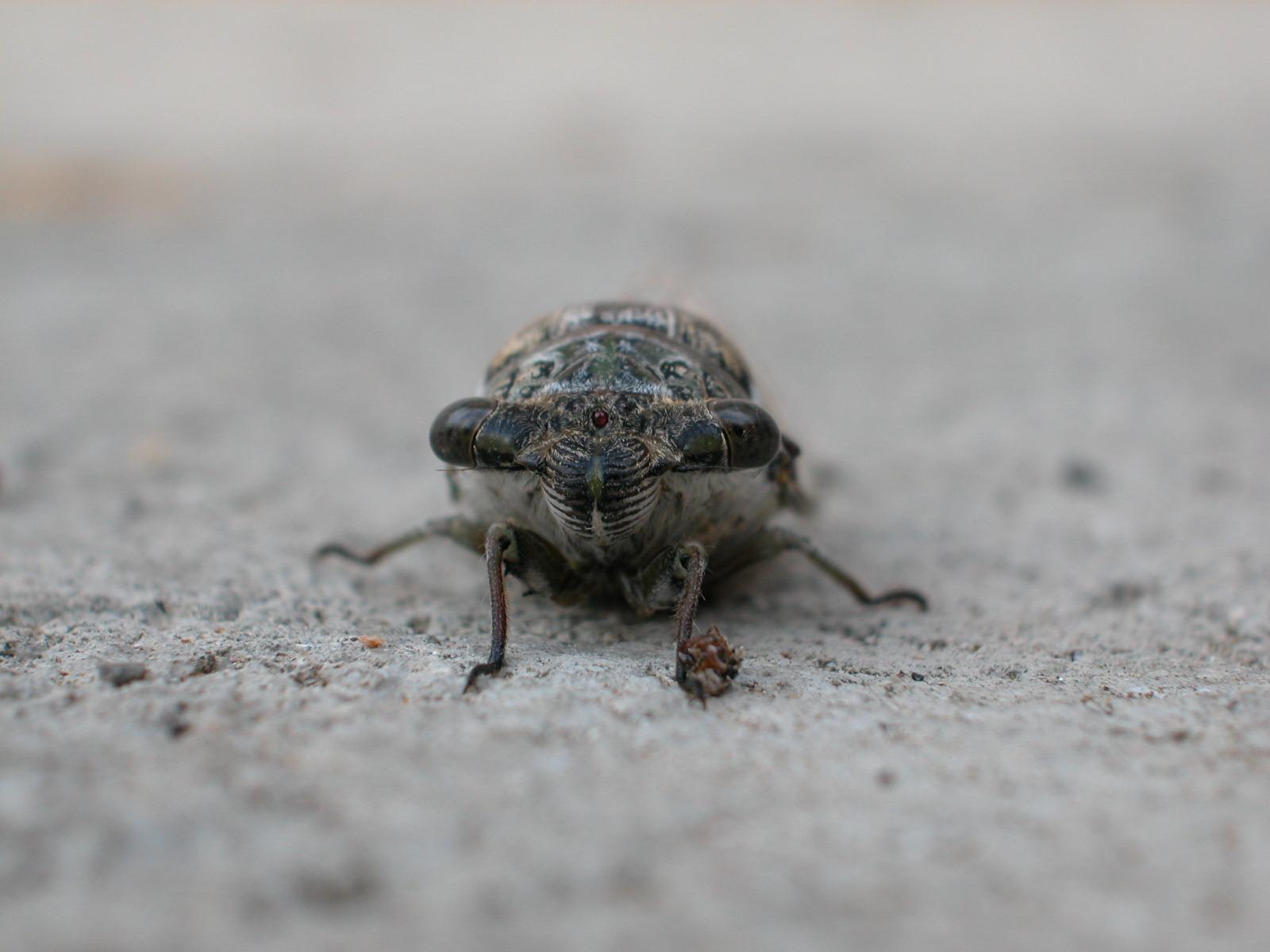 nature animals insects macro cicade front jacco cycade cicade