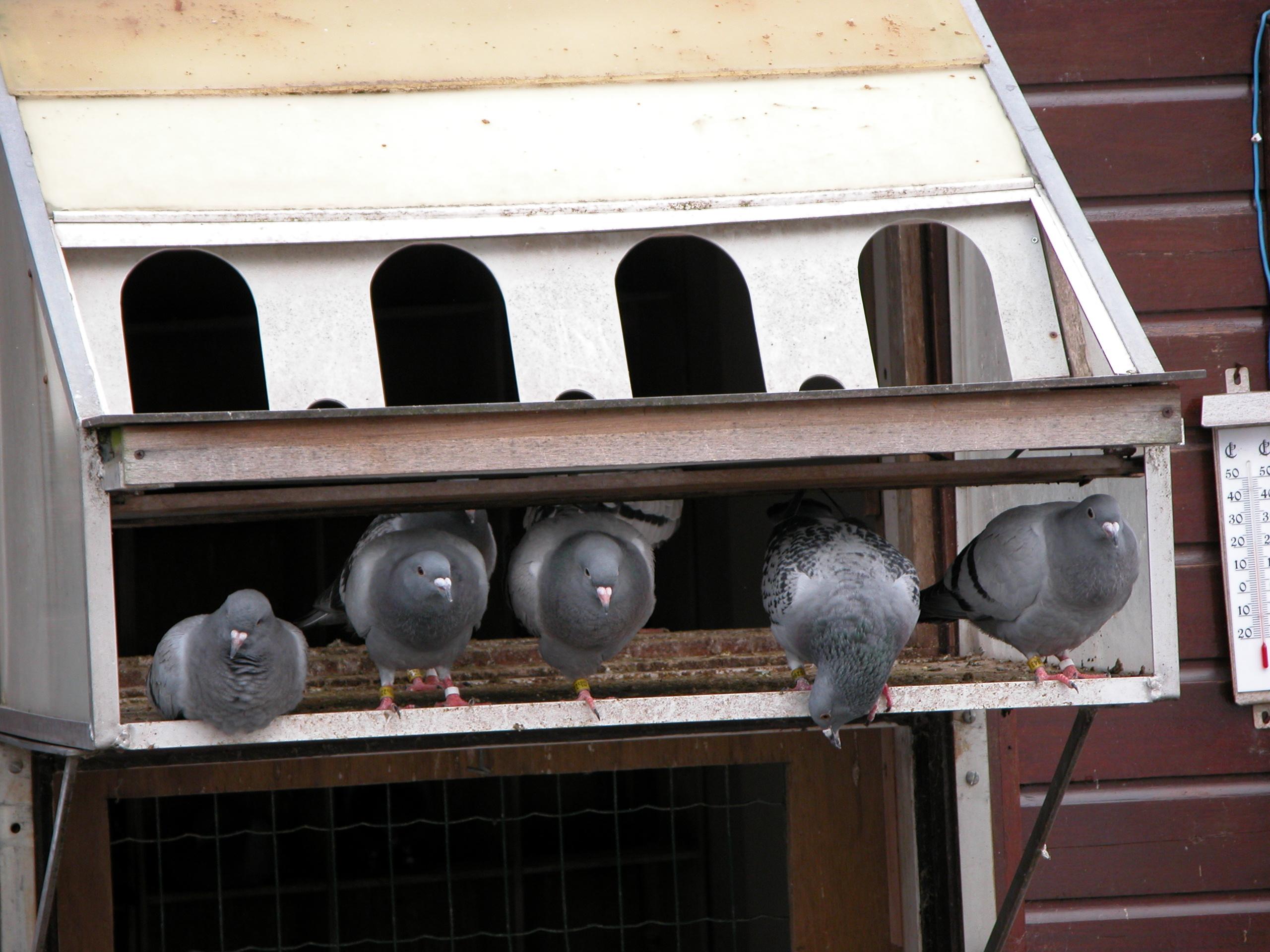 nature animals birds sports pigeon pigeons dovecote