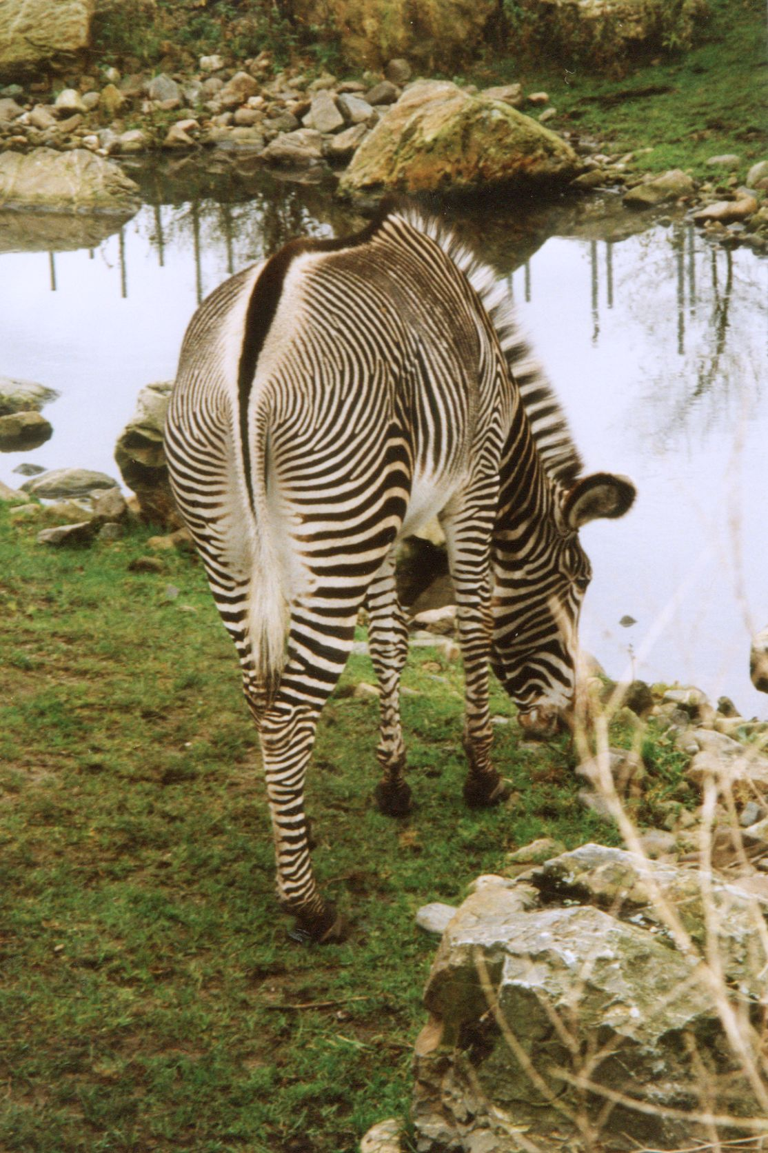 zebra africa stripes striped black and white head nose backside bottom drink drinking water waterhole tail