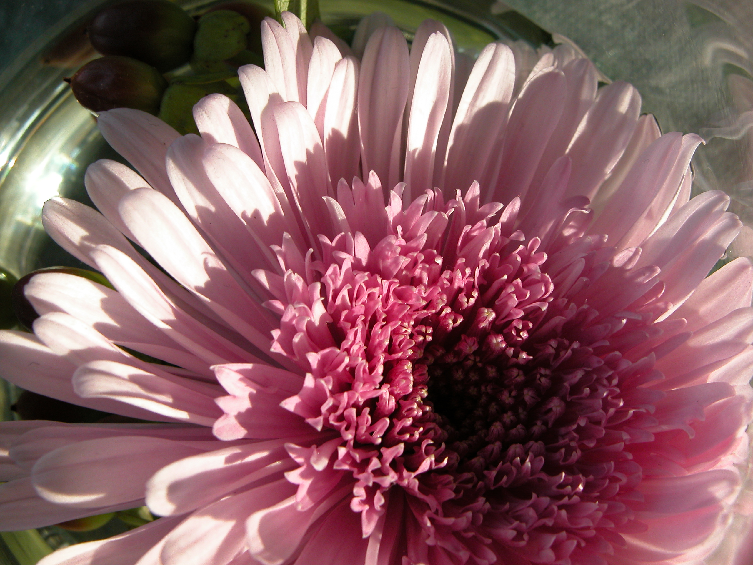 marguerite flower pink big large leaf closeup